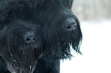 Two canine nose, black noses. Riesenschnauzers. Together.