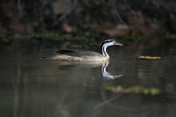 Sungrebe, Heliornis fulica