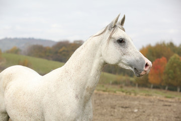 Beautiful white arabian stallion
