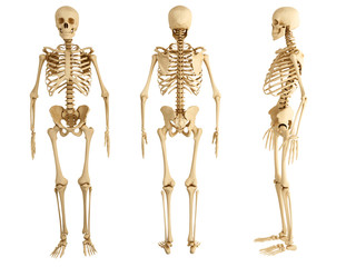 human skeleton, three views