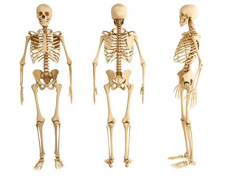 human skeleton, three views