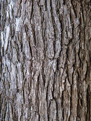 Elm Tree Bark