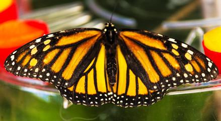 Danaus Plexippus Schmetterling