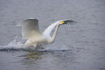 Fototapete - Whooper swan, Cygnus cygnus