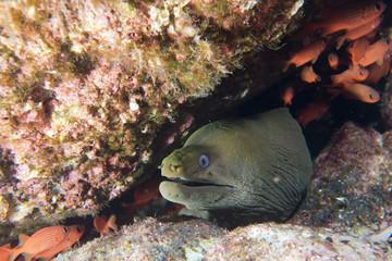 Eel mooray portrait