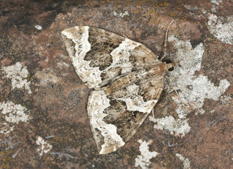 Phoenix, Eulithis prunata camouflaged on rock