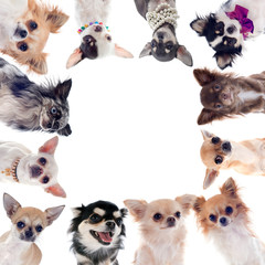 Papiers peints Chien group of chihuahuas