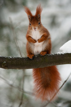 Red squirrel on the branch in winter watching the onlooker
