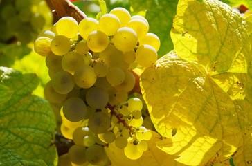 Weintraube weiss - grape white 18