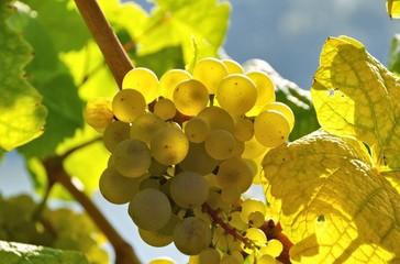 Weintraube weiss - grape white 20