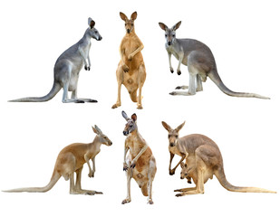 Photo sur Plexiglas Kangaroo kangaroo isolated