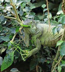 iguane vert semi-arboricole