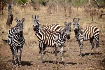 4 zebras looking at me
