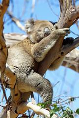 Koala, Great Ocean Road, Australien