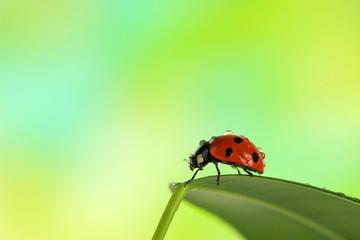 Beautiful ladybird on green leaf