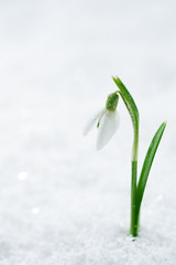 snowdrop flower on white studio snow, soft focus, perfect for po