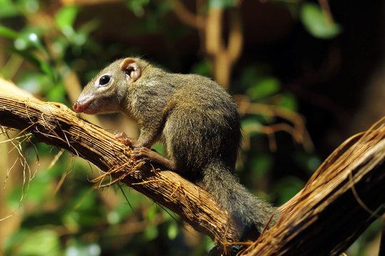 tree shrew