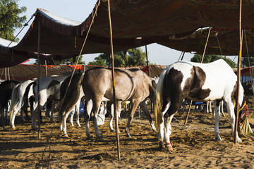 Horses at Pushkar Camel Fair, Pushkar, Ajmer, Rajasthan, India