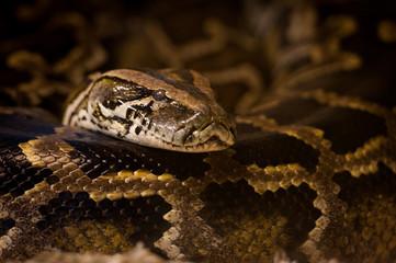 Portrait de python royal