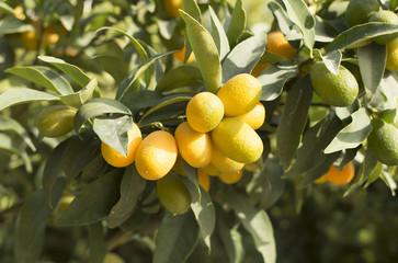 Kumquat mini orange tree