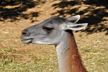 guanaco animal