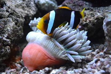 nemo fish and sea anemone