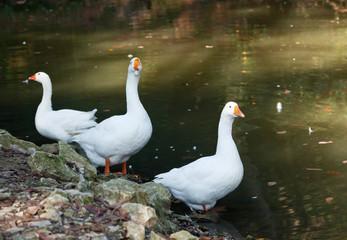 three white goose