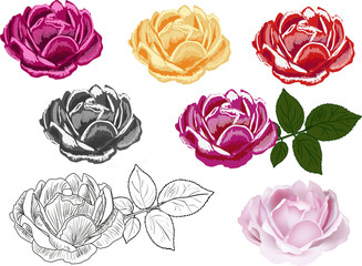 seven different styles rose isolated on white
