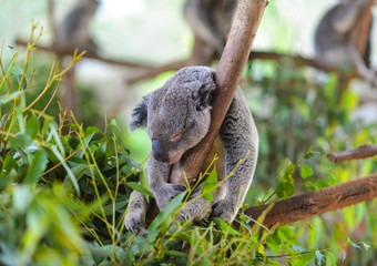 A koala sleeps on a branch of a eucalyptus tree