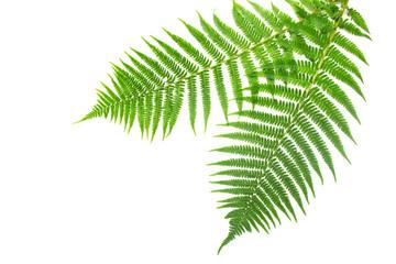 Fresh spring green fern