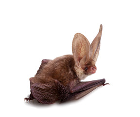 long-eared bat isolated on white