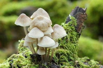 Mycena inclinata. Micena inclinada.