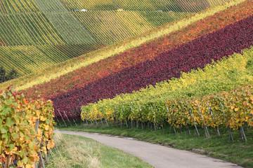 Weg in den Weinbergen während der Weinlese der Weintrauben