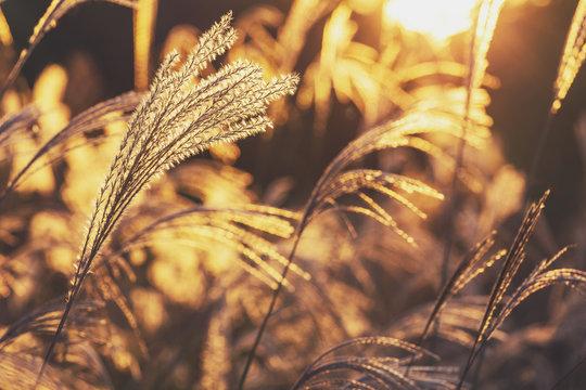 Wild grass under sunset