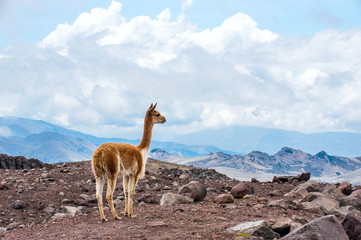 Vicuna (Vicugna vicugna) or vicugna is wild South American camel