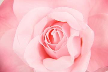 ピンク薔薇のクローズアップ