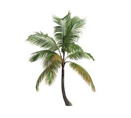 Isolated coconut palm tree