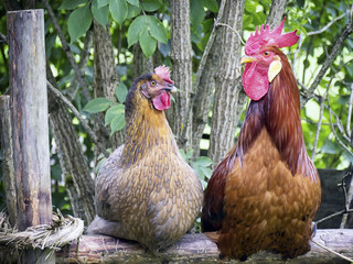 two rooster