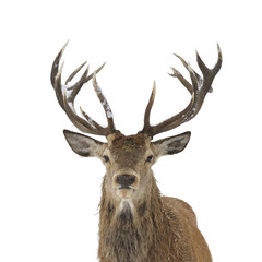 Red deer portrait
