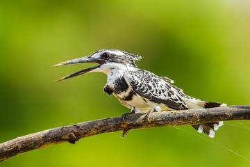 Portrait of Pied Kingfisher (Ceryle rudis) in nature