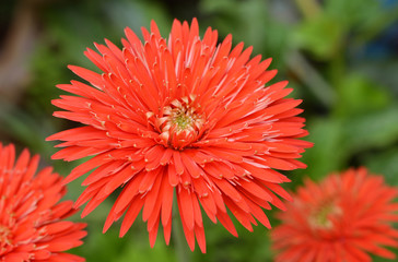red gerbera flower on garden