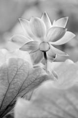 Poster Lotusbloem black and white lotus
