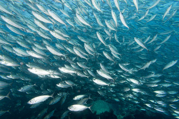 Inside a school of fish underwater