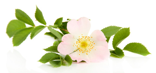 Hip rose flower, isolated on white