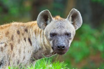 Aluminium Prints Hyena Hyena