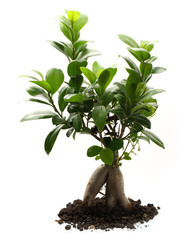 Ficus ginseng with soil