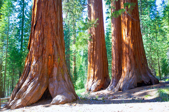 Sequoias in Mariposa grove at Yosemite National Park