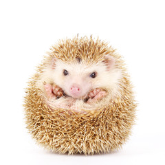 Four-toed Hedgehog, Atelerix albiventris, balled up in front of