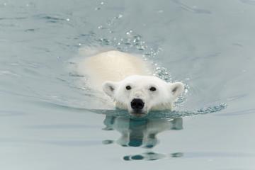 Oso nadando
