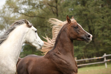 Fototapete - Two stallions playing on pasturage